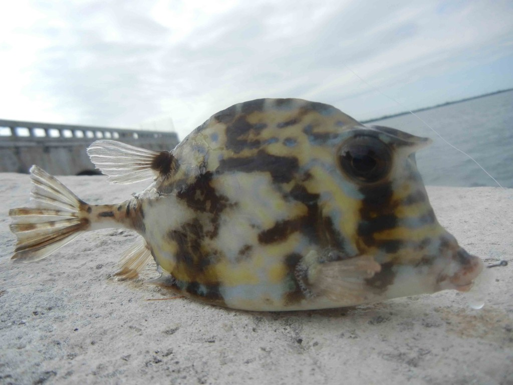 Scrawled Cowfish caught while micro fishing