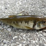 Striped Shiner caught near Delphi, Indiana.