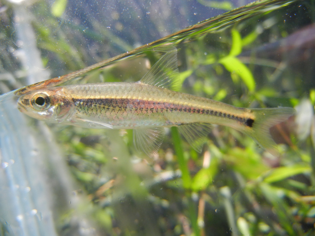 Coosa Shiner in photo tank caught using micro fishing tactics