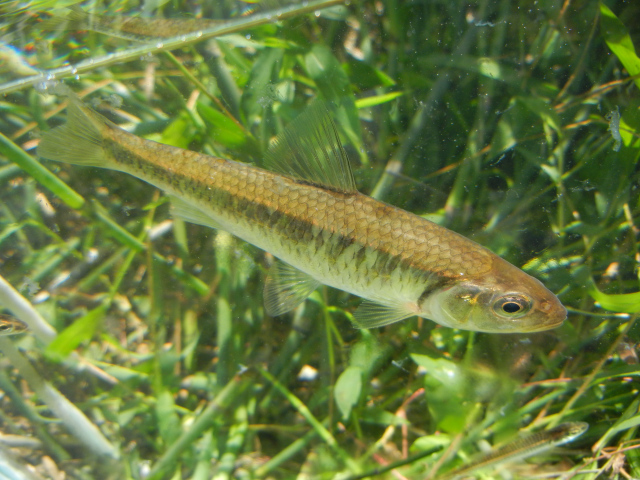 Striped Shiner in photo tank caught using micro fishing tactics