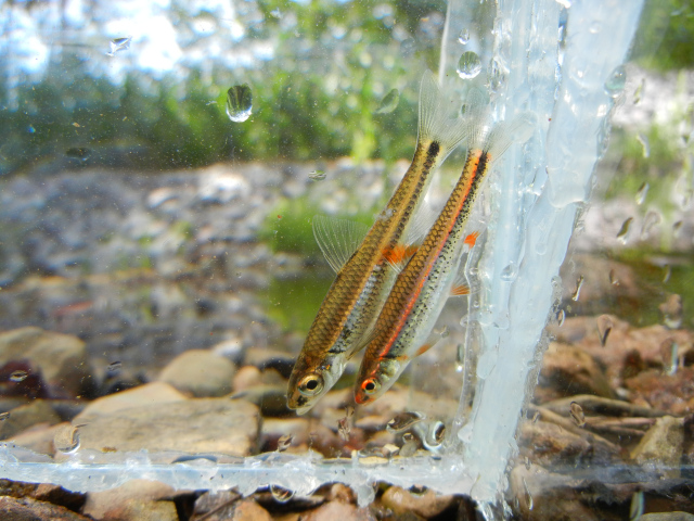 Coosa Shiner and Rainbow Shiner in photo tank both caught by micro fishing