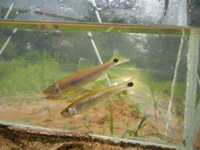 Blacktail Shiners in photo tank caught using micro fishing tactics