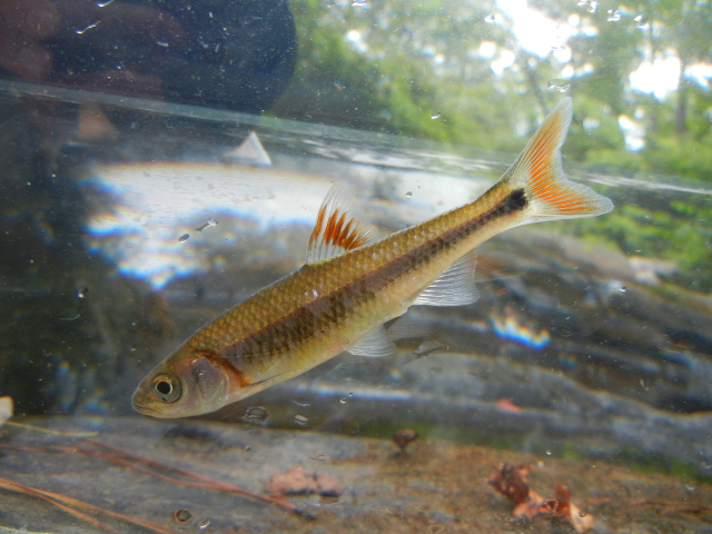 Bandfin Shiner in photo tank caught using micro fishing tactics