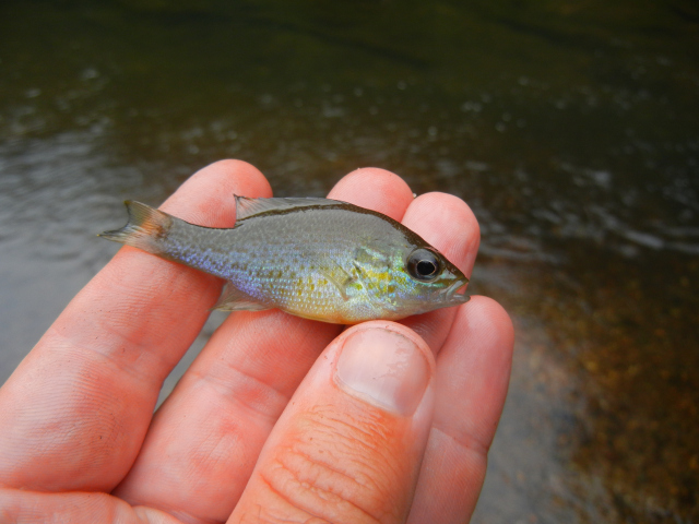 Redbreast Sunfish Juvenile caught using micro fishing tactics