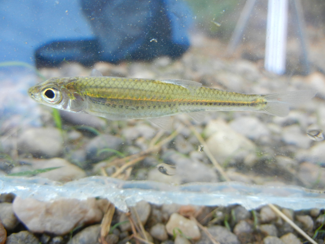 Skygazer Shiner (Notropis uranoscopus) caught using micro fishing tactics
