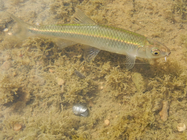 Spotfin Shiner caught using micro fishing tactics