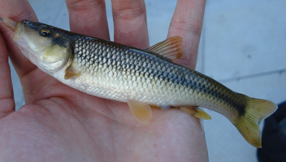 Hornyhead Chub (male) caught micro-fishing